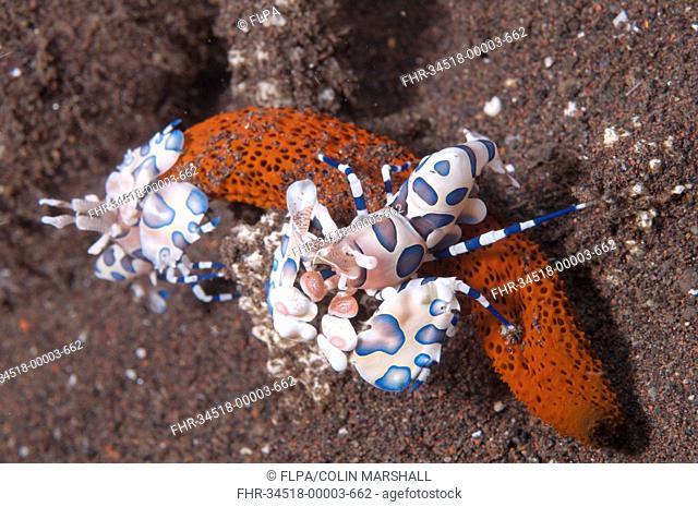 Harlequin Shrimp Hymenocera elegans adult pair, feeding on seastar, Seraya Beach Resort, Bali, Lesser Sunda Islands, Indonesia