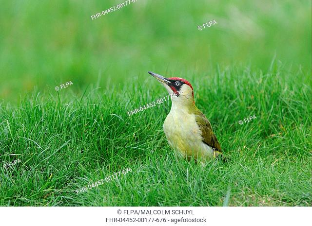 Green Woodpecker Picus viridis adult male, standing on grass, Oxfordshire, England, april