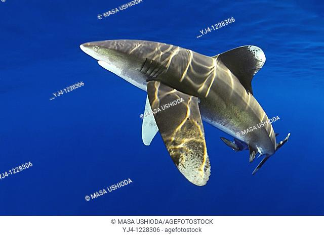 oceanic whitetip shark, Carcharhinus longimanus, with remora, Remora sp , IUCN Vulnerable Species, Kona Coast, Big Island, Hawaii, USA, Pacific Ocean