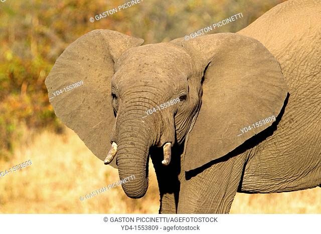 African Elephant Loxodonta africana, Kruger National Park, South Africa