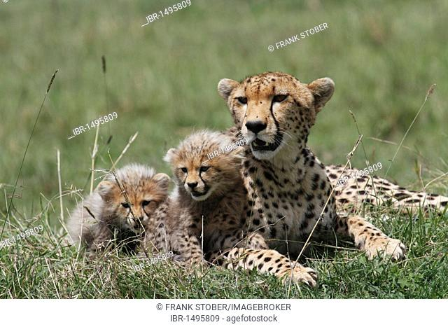 Cheetah (Acinonyx jubatus) with pups