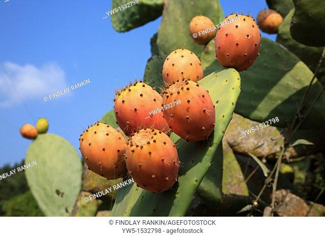Fruits of the prickly pear cactus, growing wild, Corfu, Greece