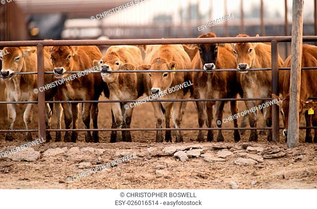 These Cows apparently dirive some pleasure or minerals from the metal railing and spend hours licking and chewing on it