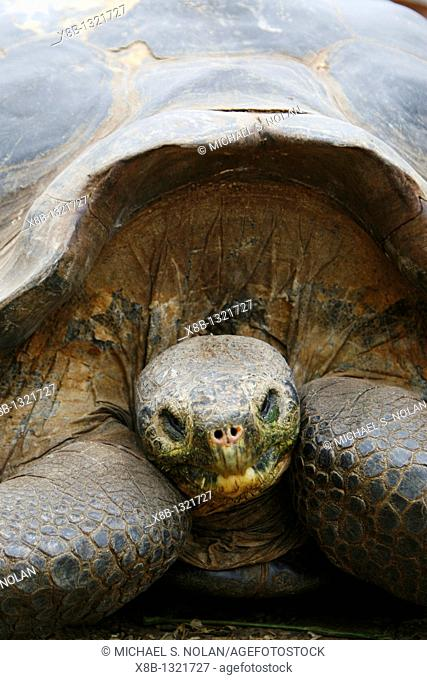 A head on view of a captive Galapagos giant tortoise Geochelone elephantopus at the Charles Darwin Research Station on Santa Cruz Island in the Galapagos Island...