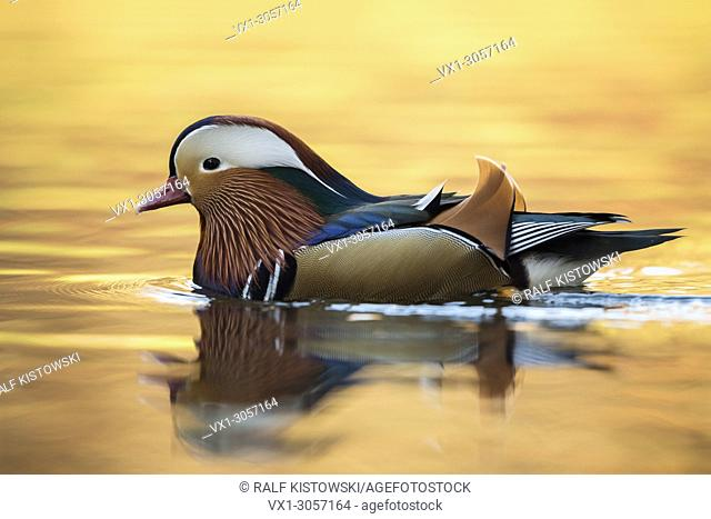 Mandarin Duck ( Aix galericulata ), colourful drake in breeding dress, swimming on golden shimmering water, side view, wildlife, Europe