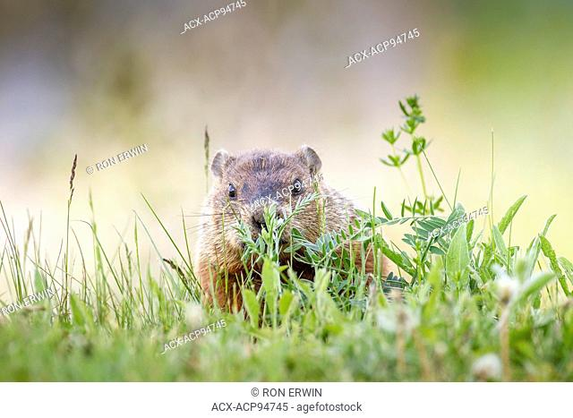 Woodchuck, also called groundhog (Marmota monax) in Forillon National Park, Quebec, Canada