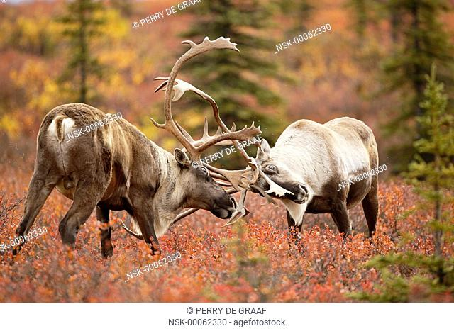 Caribou (Rangifer tarandus) two males sparring on tundra, United States, Alaska, Denali National Park and Preserve