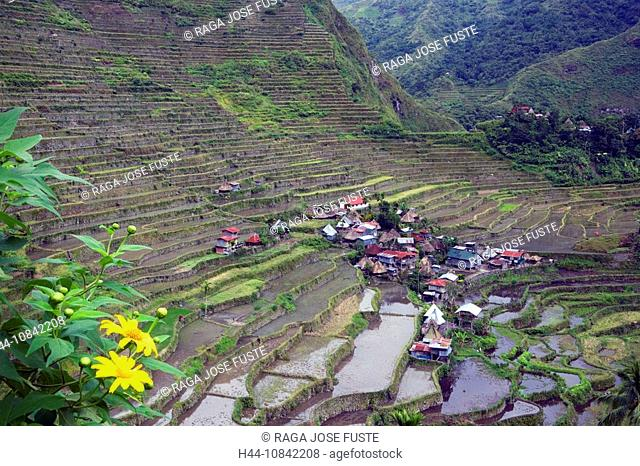 Philippines, Banaue Rice Terraces, Luzon Island, Cordillera District, Near Baguio City, Rice, November 2007, Asia, fie