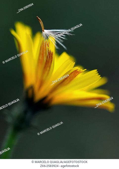 Dandelion seed and flower (Taraxacum officinale). Montseny Natural Park. Barcelona province, Catalonia, Spain