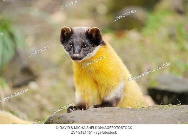 Close-up of a yellow-throated marten or kharza (Martes flavigula) in winter