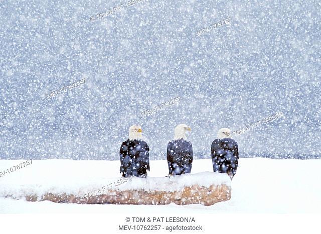 Bald Eagles - sitting on beach log during heavy winter snowstorm (Haliaeetus leucocephalus)