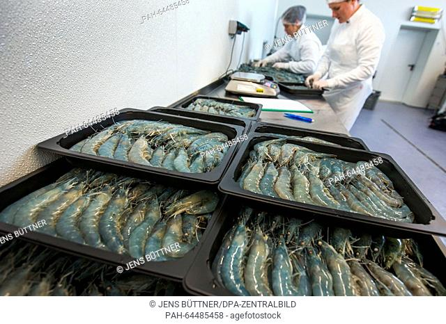 Employees pack freshly caught Pacific shrimps at the 'Cristalle Garnelen' shrimp farm in Grevesmuehlen, Germany, 10 December 2015