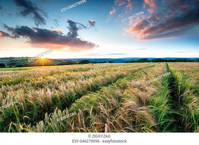 Stunning sunset over a field of ripening barley on farmland near Bodmin in Cornwall