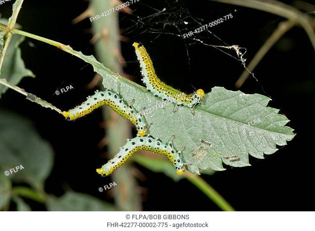 Large Rose Sawfly (Arge pagana) three larvae, feeding on rose leaf in garden, Dorset, England, August