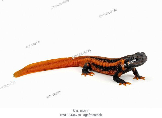 Mandarin Salamander, Emperor newt (Tylototriton shanjing, Tylototriton verrucosus), cutout, China, Yunnan