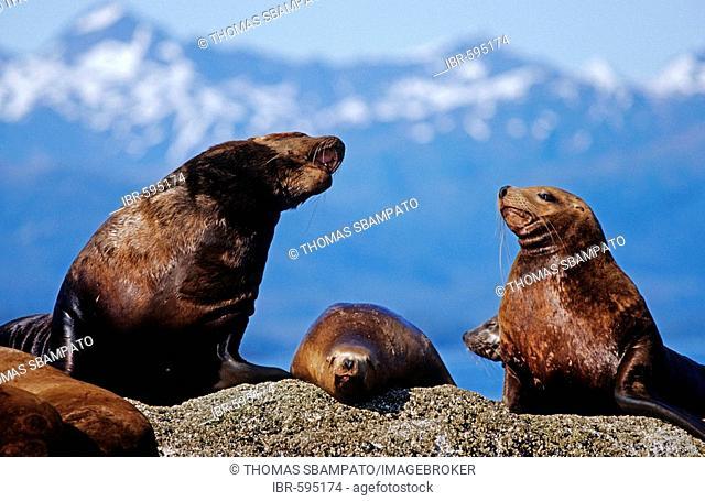 Steller or Northern Sea Lions (Eumetopias jubatus) sunning themselves on rock, Prince William Sound, Alaska, USA