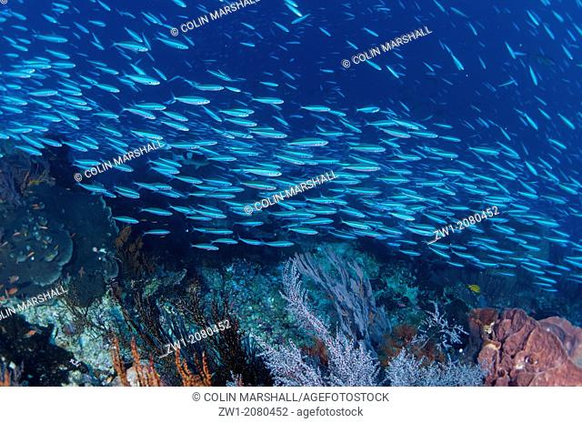 School of Bluestreak Fusiliers (Pterocaesio tile) swimming along reef at Gunung Api near Alor in Indonesia
