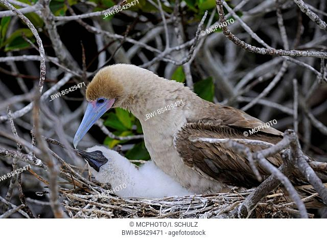 red-footed booby (Sula sula), brown form, with chick on the nest, Ecuador, Galapagos Islands, Genovesa
