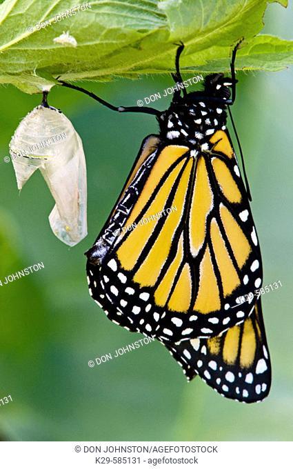 Monarch butterfly (Danaus plexippus). Emerged adult resting with empty chrysallis. Ontario