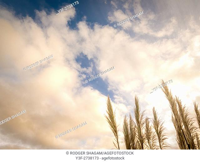 Pampas grass swaying in a breeze. Table Mountain, Cape Town, South Africa