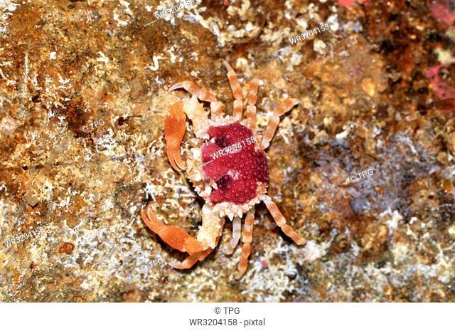 Nucia; crab