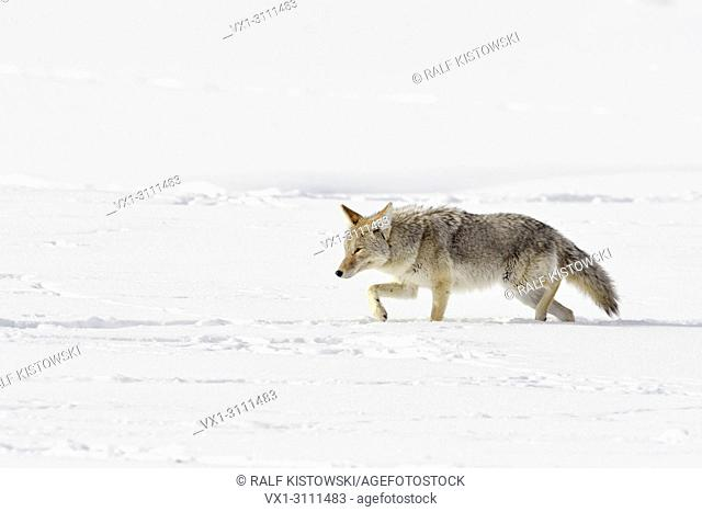 Coyote / Kojote ( Canis latrans ) in winter, walking through deep snow, squinting eyes, hunting, Yellowstone Area, Wyoming, USA.