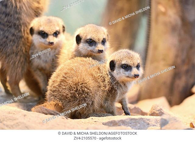 Close-up of three little meerkat or suricate (Suricata suricatta) babies sitting in sand