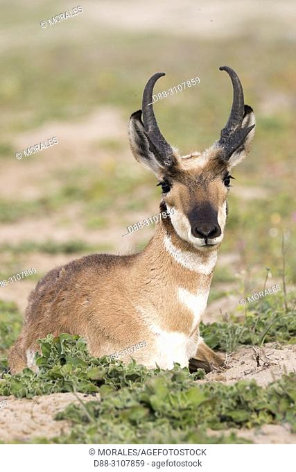 Central America, Mexico, Baja California Sur, Baja California Desert National Park., Guerrero Negro, Baja California pronghorn or peninsular pronghorn...