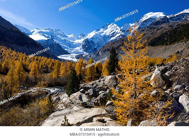 Golden yellow larches in the Morteratschtal (valley) near Pontresina in contrast with the eternal ice of the Bernina massif, canton of Grisons, Switzerland
