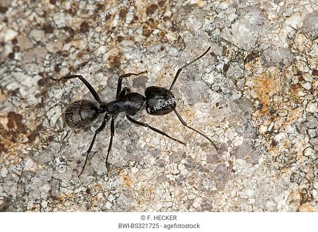 Oak carpenter ant (Camponotus vagus), Germany
