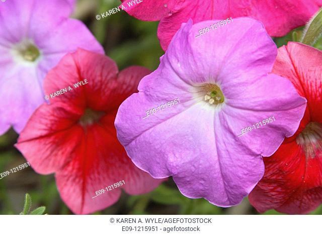 red and purple flowers, possibly impatiens, anthers showing on purple flower