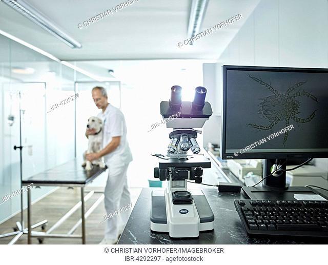 Microscope in veterinary practice, microscopic enlargement of mite on monitor screen, vet examining dog, Austria