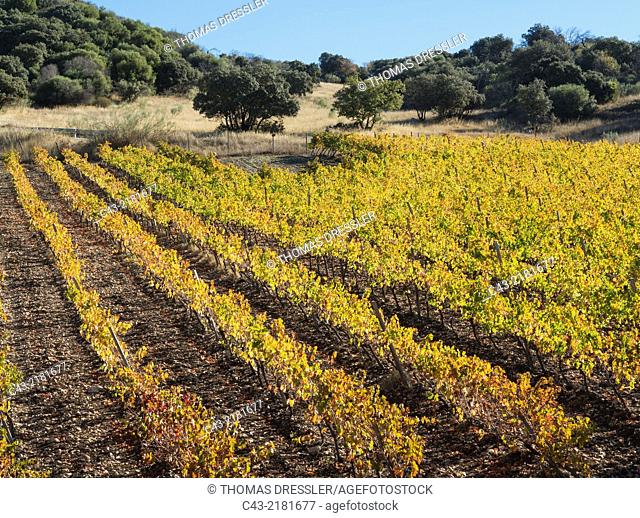 Vineyard in autumnal colours in November. Málaga province, Andalusia, Spain