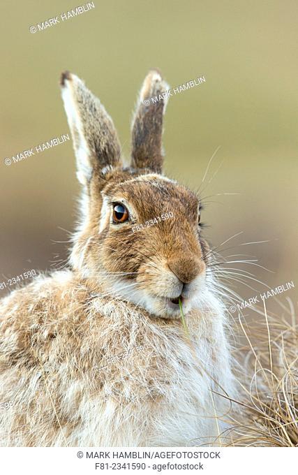 Mountain Hare (Lepus timidus) close up of adult feeding