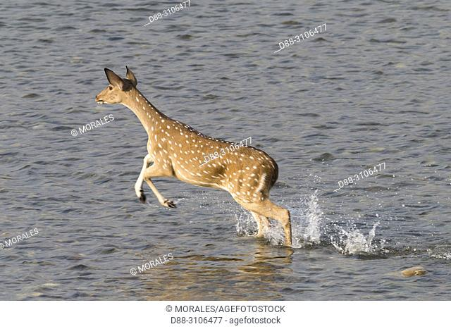 Asia, India, Uttarakhand, Jim Corbett National Park, Chital or Cheetal or Chital deer, Spotted deer or Axis deer( Axis axis), running in the water