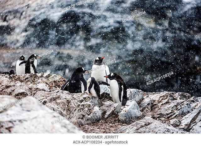 A breeding colony of Gentoo Penguins at Cuverville receives a dusting of snowfall, Antarctic Peninsula, Antarctica