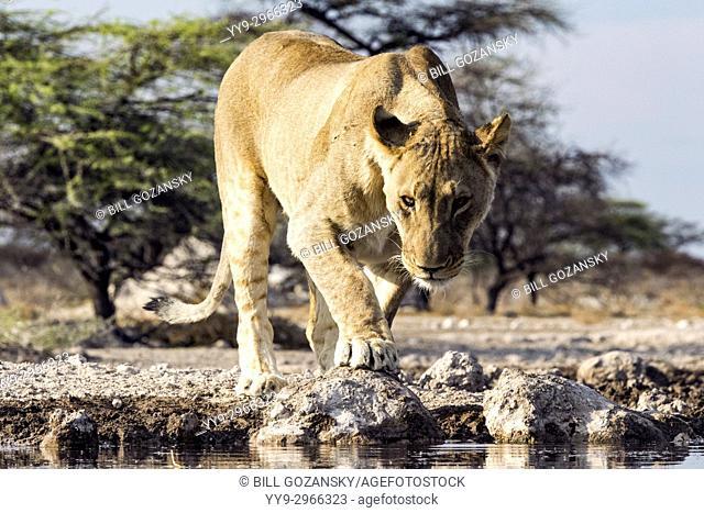 Lion (Panthera leo) - Onkolo Hide, Onguma Game Reserve, Namibia, Africa