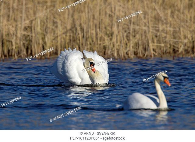 Busking mute swan (Cygnus olor) male in threat display swimming with neck curved back and wings half raised in lake in spring