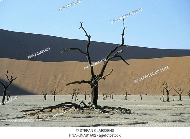 camelthorn - Manna tree Alhagi maurorum - Namib naukluft national park, Sossusvlei, Death valley, Namib Desert, Namibia, Africa