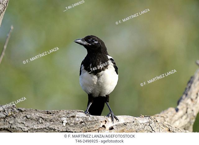 Common Magpie Pica pica. Park Polvoranca Madrid