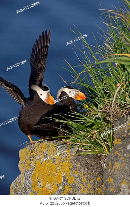 Tufted puffin (Fratercula cirrhata) pair resting on top of cliff, one puffin flapping wings, Walrus Islands State Game Sanctuary, Round Island, Bristol Bay