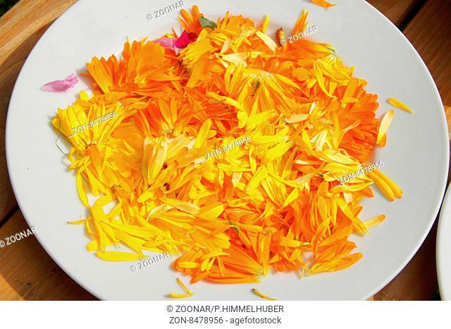 Calendula officinalis, Ringelblume, Marigold, Blüten trocknen