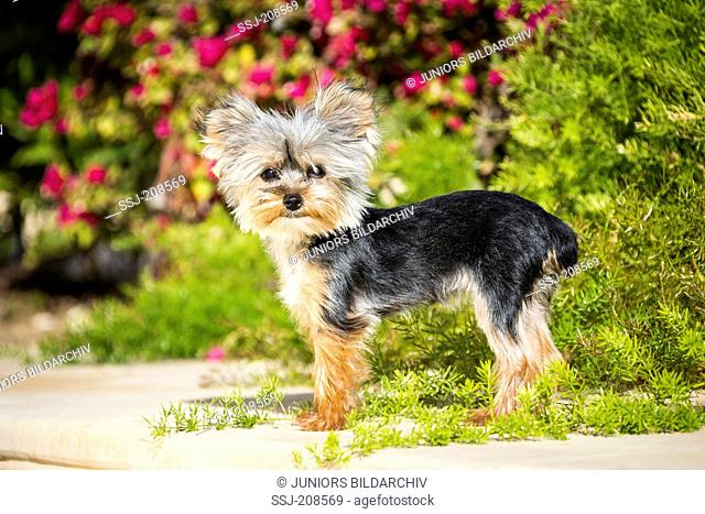 Teacup Yorkshire Terrier. Adult bitch standing in a garden. Germany