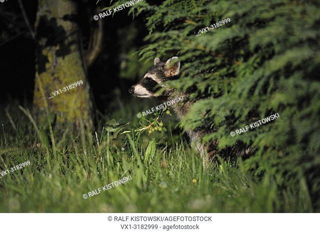 Common Raccoon ( Procyon lotor ), nightshot, wildlife, hiding between bushes in a private garden