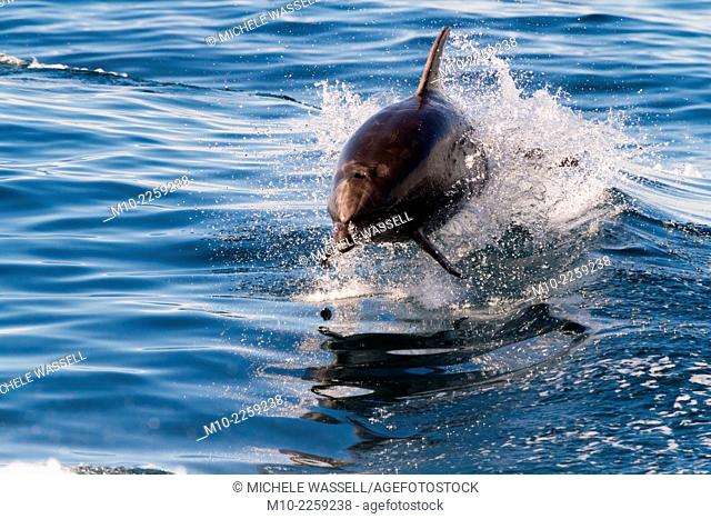 Off-shore Bottlenose dolphin porpoising out of the water behind the boat off southern California coast