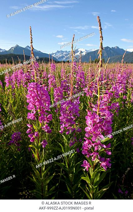 Scenic view of a field of Fireweed with Mendenhall Glacier and Towers in the background, Southeast Alaska, Summer