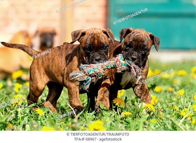 mongrel puppies