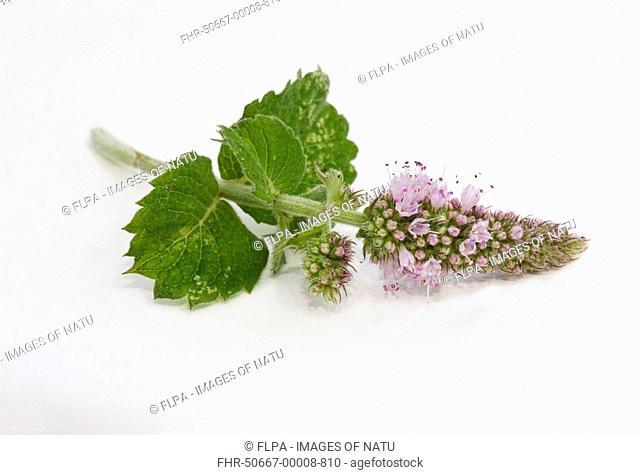Apple Mint Mentha x villosa alopecuroides 'Bowles', cut stem and flowers