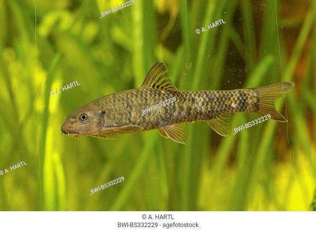 doctor fish (Garra rufa), swimming in front of water plants