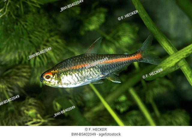 Glowlight tetra (Hemigrammus erythrozonus), swimming
